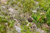 Borová na zemi v podzimním lese — Stock fotografie