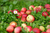 Fresh ripe apples on green grass — Stock Photo