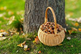 A basket full of acorns for crafting and playing — Stock Photo