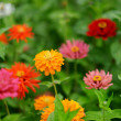 Red and orange zinnia flowers — Stock Photo