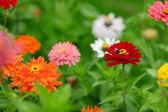 Red and orange zinnia flowers — Stock Photo