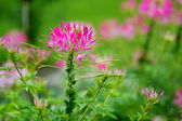 Beautiful spider flower in bloom — Stock Photo