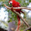 Red macaw parrot on a branch — Stock Photo #44806587