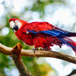 Red macaw parrot on a branch — Stock Photo #44807257