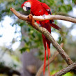 Red macaw parrot on a branch — Stock Photo #44807771