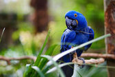 Blue macaw parrot on a branch — Stock Photo