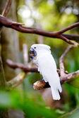 Vithuvad kakadua papegoja på en gren — Stockfoto