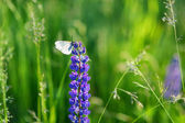 White butterfly on blue lupine — Stockfoto