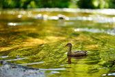 Eend in rivier — Stockfoto