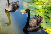 Beautiful black swans — Stock Photo