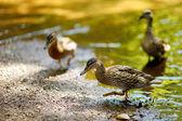 Anatre in fiume — Foto Stock