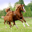 Stock Photo: Arab mare and foal