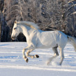 Free white horse on winter background — Stock Photo