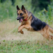 Stock Photo: Germshepherd runs free