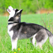 Siberian husky — Stock Photo #38341601