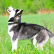 Stock Photo: Siberian husky