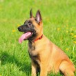 Stock Photo: Malinois puppy sitting and looking attentively