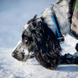 Stock Photo: Spaniel portrait
