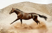 Akhal-teke horse running in desert — Stock Photo