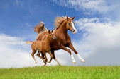 The arab mare with foal running isolated on the field — Stock Photo