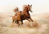 Purebred white arabian horse in desert — Stock Photo