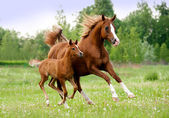 Arab mare and foal — Stock Photo