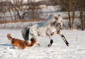 Appaloosa pony and sable border collie runs gallop in winter — Stock Photo