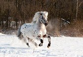 Appaloosa pony runs free through the winter field — Stock Photo