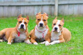 American Staffordshire Terriers — Stock Photo