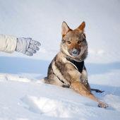 Czechoslovakian wolfdog puppy — Stock Photo