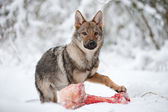 Young male of czeckhoslovakian wolfdog — Stock Photo