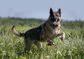 German shepherd running in the field — Stock Photo