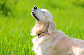 Golden retriever — Photo