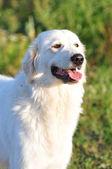 Maremma dog — Stock Photo