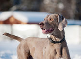 Weimaraner dog in a frozen, snowy winter world on a cold, sunny — Stock Photo