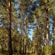 Altai pine forest - Stock Photo