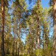 Altai pine forest — Stock Photo #13107833