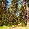 Altai pine forest — Stock Photo