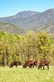 European bison — Foto Stock