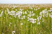 Pamuk otlar tundra — Stok fotoğraf