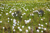 Cotton grass Eriophorum vaginatum — Stock Photo