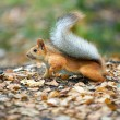 Red squirrel — Stock Photo