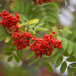 Stock Photo: Ashberry - Sorbus aucuparia