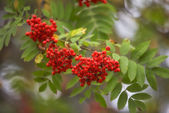 Ashberry - Sorbus aucuparia — Stock Photo