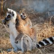 Stock Photo: Ring tailed lemur catta