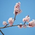 Sakura in blossom — Stock Photo #40650685