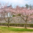 Sakura in blossom — Stock Photo