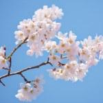 Sakura in blossom — Stock Photo #40650719