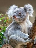 Oso koala — Foto de Stock