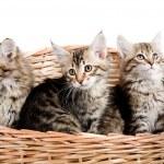 Siberian kitten — Stock Photo #13140092